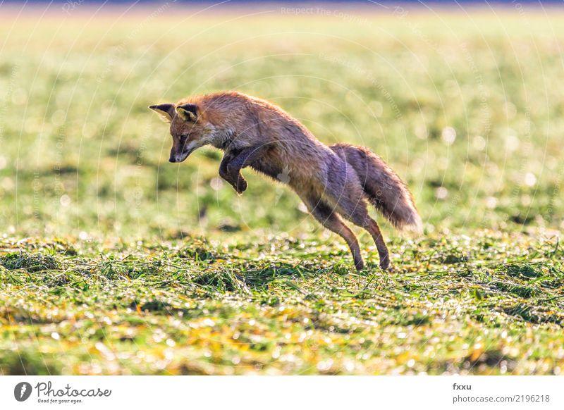 Erwischt! Fuchs Tier Natur Säugetier Wald Wildtier wild niedlich Tierporträt Wiese Feld Nahaufnahme springen Lebensmittel orange Außenaufnahme Landraubtier Maus