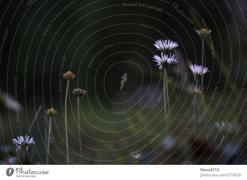 Sommerende Natur schön weiß Blume Pflanze Wiese Herbst Blüte Gänseblümchen verblüht letzte Wildpflanze Lichtfleck