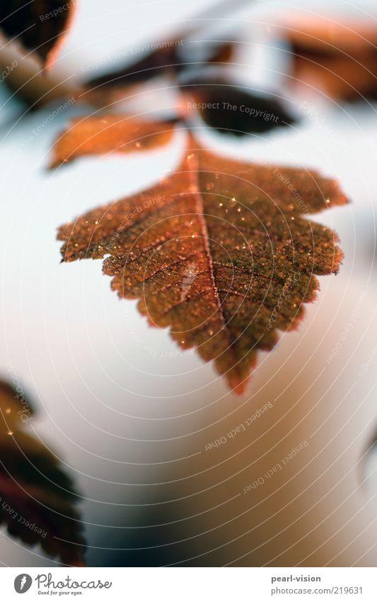 Speer Natur Pflanze Blatt braun Spitze