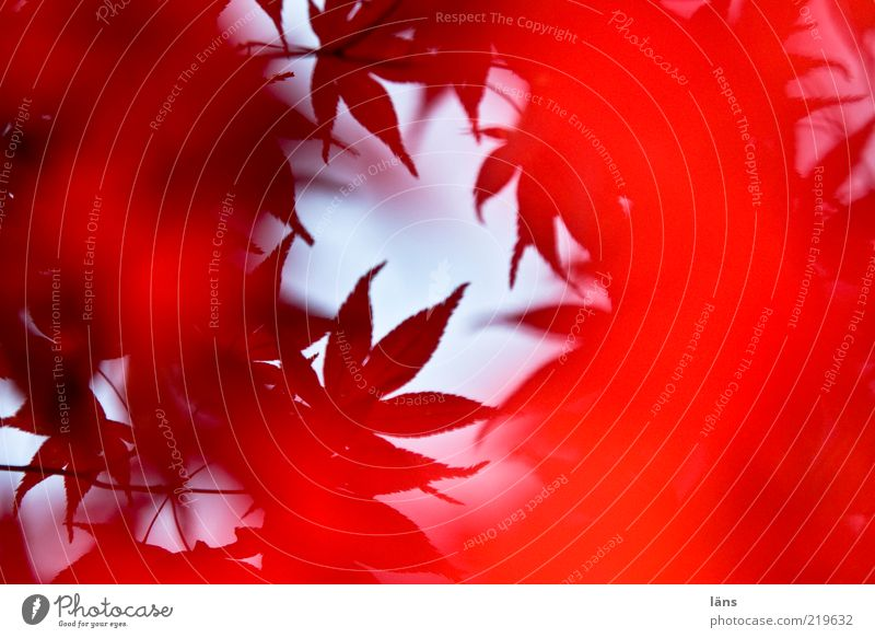 Wirbelwind Umwelt Natur Pflanze ästhetisch rot Herbst herbstlich Herbstlaub Blätterdach Blatt Japanischer Ahorn Farbfoto Außenaufnahme Menschenleer