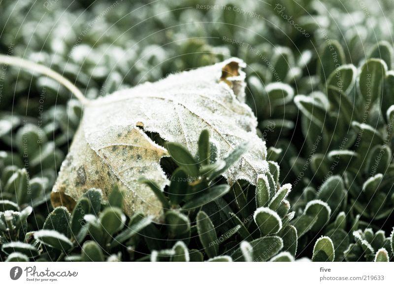 morgenfrische Natur Pflanze Blatt kalt Herbst Umwelt nass frisch Sträucher liegen gefroren Tau Herbstlaub Grünpflanze Makroaufnahme herbstlich