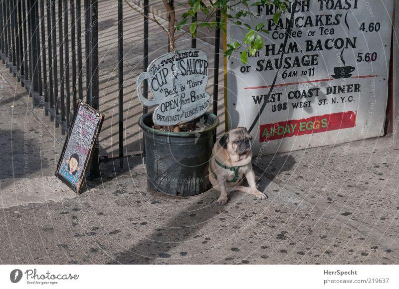 Mopsfidel? Nicht mit mir... Restaurant Tier Haustier Hund 1 hässlich braun grau Traurigkeit Einsamkeit angekettet angeleint Hundeleine sitzen warten Topfpflanze