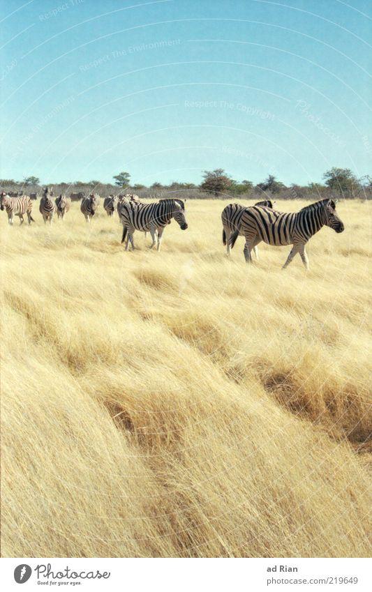 durch die Savanne streifen Landschaft Himmel Gras Sträucher Etoscha-Pfanne Namibia Afrika Tier Wildtier Zebra Tiergruppe Herde trocken wild Wildnis Freiheit