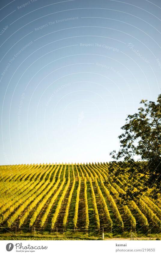 Von der Sonne verwöhnt Umwelt Natur Landschaft Pflanze Wolkenloser Himmel Sonnenlicht Herbst Schönes Wetter Nutzpflanze Wein Feld Wachstum hell blau grün