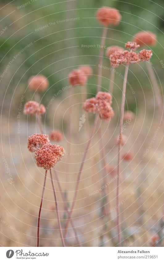 Gewächs Natur schön Blume Pflanze Wiese Blüte Umwelt ästhetisch wild Stengel vertrocknet Wiesenblume