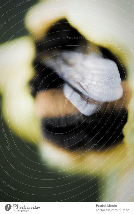 Pummelchen Natur schön Pflanze Sommer schwarz Tier gelb Blüte Luft Umwelt fliegen rund Flügel Insekt natürlich