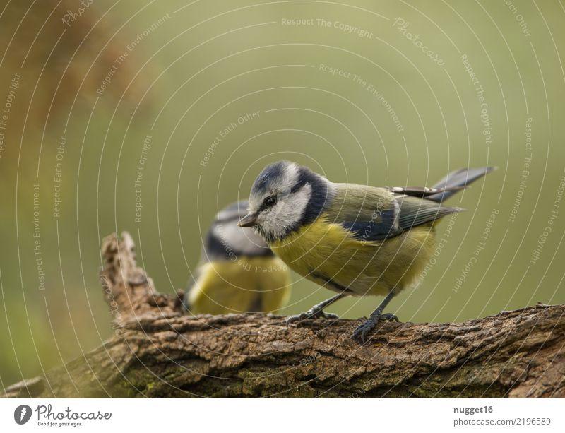 Blaumeise Umwelt Natur Tier Frühling Sommer Herbst Schönes Wetter Pflanze Baum Garten Park Wald Wildtier Vogel Tiergesicht Flügel Krallen Meisen 1 ästhetisch