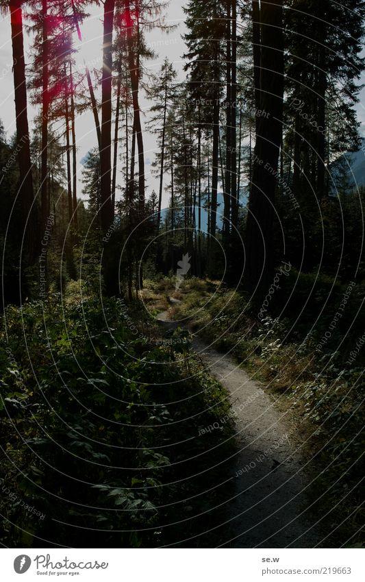 Im dunklen Wald ... | Antholz [15] grün Sonne Sommer ruhig Einsamkeit schwarz Wald dunkel Berge u. Gebirge Wege & Pfade glänzend Sträucher bedrohlich Alpen leuchten entdecken