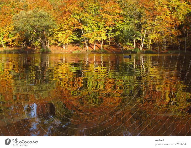 Nachmittags am See Natur Landschaft Wasser Herbst Schönes Wetter Baum Sträucher Park Wald Seeufer Teich Ente 1 Tier Erholung Farbe Pause Wandel & Veränderung