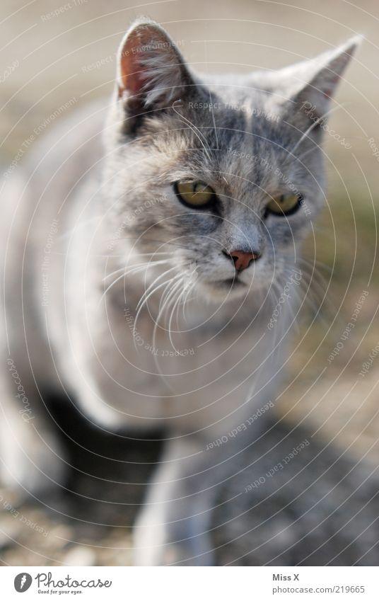 Dreibeiner Tier Haustier Katze 1 Tierjunges kuschlig grau Textfreiraum unten Halbprofil Ohr Schnurrhaar Auge Nase Fell Hauskatze Katzenauge 3 Farbfoto