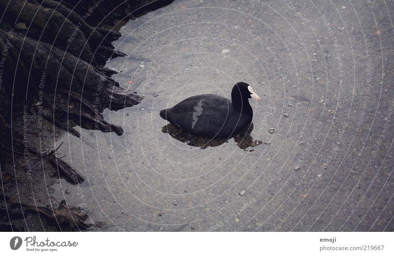 dark duck Tier 1 schwarz gruselig Ente Feder Seeufer Wasser dunkel Wurzel Blässhuhn Schwarzweißfoto Außenaufnahme Textfreiraum oben Textfreiraum unten Abend