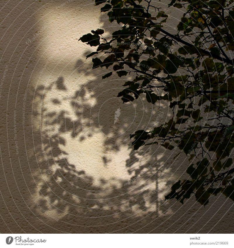 In der Abendsonne Pflanze Blatt schwarz Wand grau Mauer braun Fassade Vergänglichkeit Ast hängen Zweig Schatten Herbstlaub Geäst
