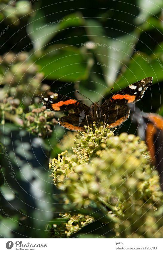 Flügelweite trinken elegant Leben ruhig Sommer Natur Pflanze Tier Blume Blüte Schmetterling beobachten sitzen ästhetisch grün orange Idylle Perspektive