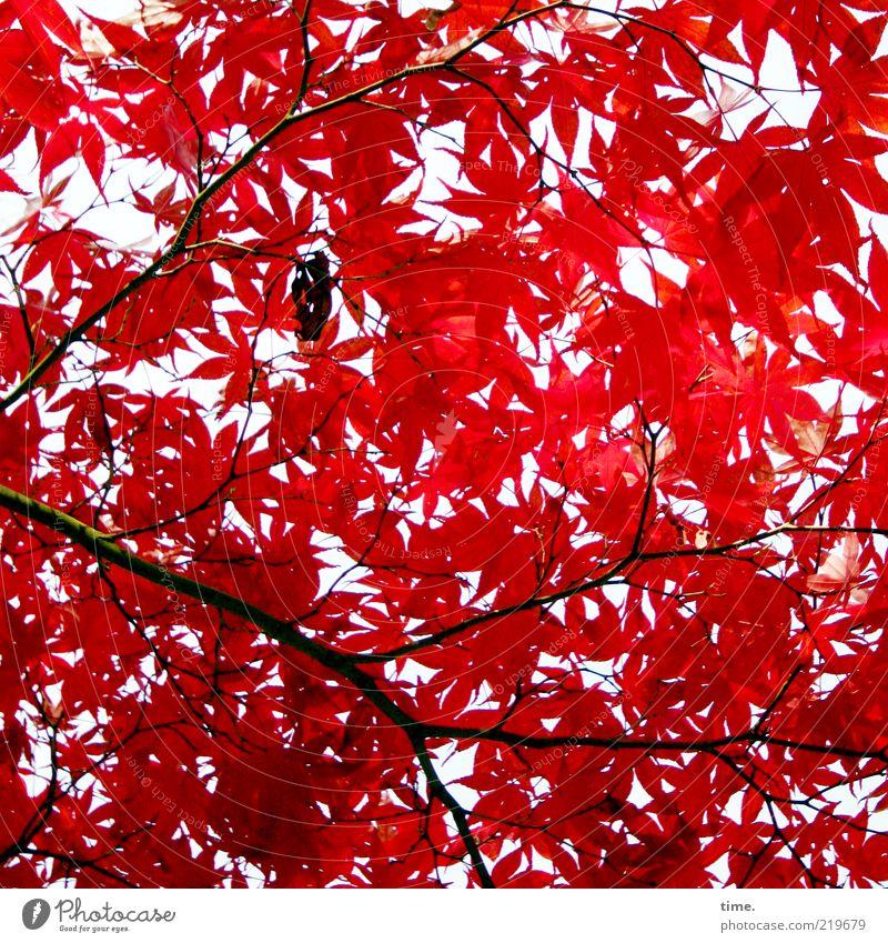 Herbstfeuer elegant exotisch schön Leben Umwelt Natur Pflanze Baum Blatt glänzend Wachstum authentisch außergewöhnlich rot Kraft Ahorn Farbfoto Gedeckte Farben