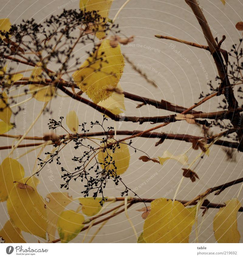 trübe Stimmung Pflanze Herbst schlechtes Wetter Blatt Blüte Grünpflanze Wildpflanze Mauer Wand Fassade verblüht dehydrieren alt trocken braun gelb schwarz
