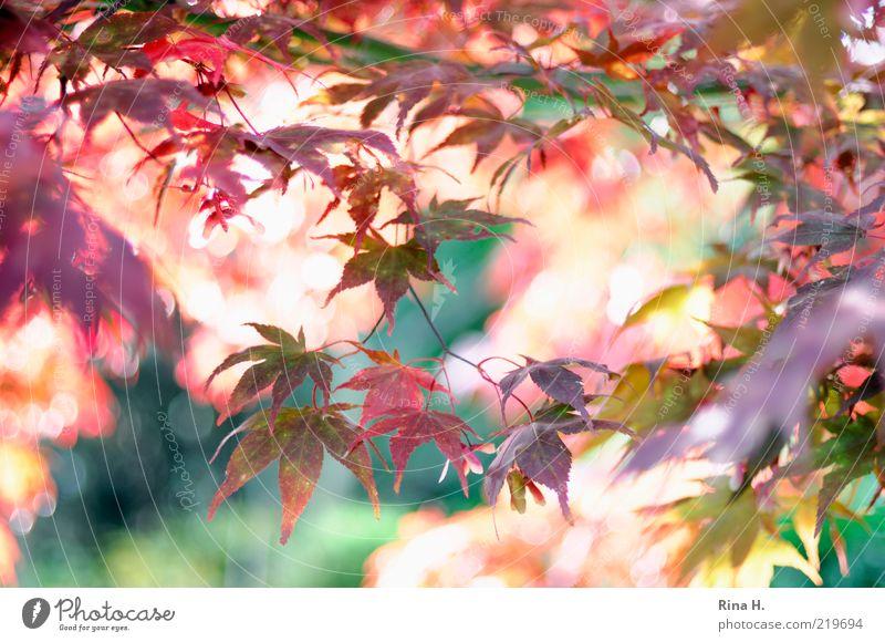 HerbstFlash Natur grün Pflanze rot Blatt Stimmung rosa gold Zeit ästhetisch Wandel & Veränderung Vergänglichkeit Lebensfreude natürlich leuchten
