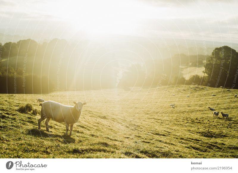 Schaf im Licht Himmel Natur Sommer grün Landschaft Erholung Tier ruhig Wärme gelb Wiese Freiheit außergewöhnlich Ausflug Freizeit & Hobby hell