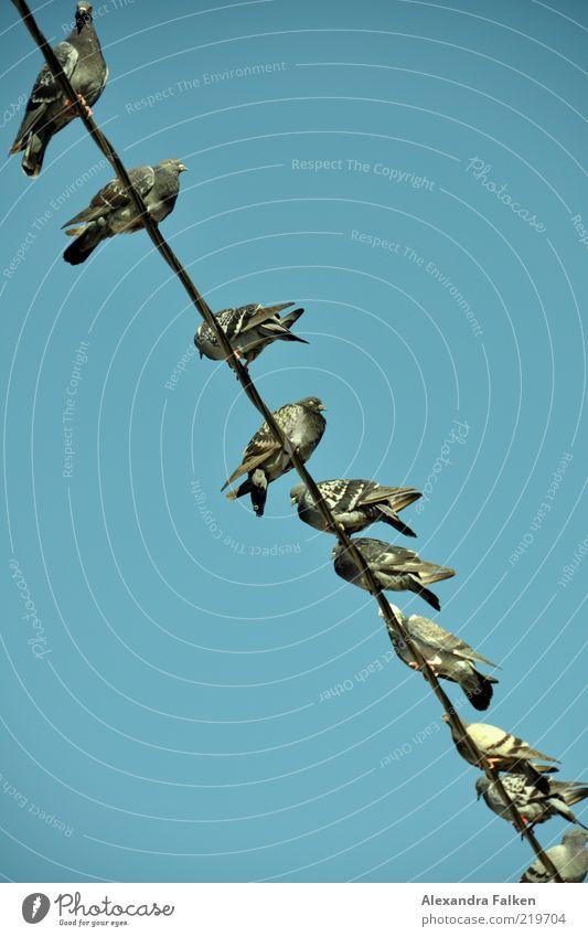 Ruckedigu... Himmel blau Vogel Zusammensein sitzen Ordnung Tiergruppe Pause viele Gesellschaft (Soziologie) diagonal Taube Leitung Blauer Himmel Hochspannungsleitung Aufenthalt