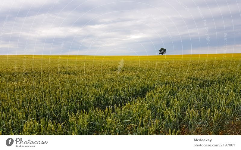 Einsam Umwelt Natur Landschaft Pflanze Himmel Wolken Sommer Baum Nutzpflanze Kornfeld Feld authentisch Ferne Gesundheit gigantisch Unendlichkeit natürlich blau