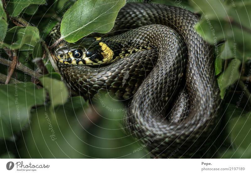 Ringelnatter Natur Sträucher Wildtier Schlange 1 Tier kalt grün Sonnenbad Buchenblatt gelb Reptil Farbfoto Makroaufnahme