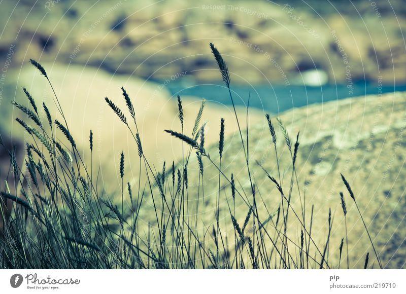 gras Natur Landschaft Sommer Schönes Wetter Gras Grünpflanze Halm Felsen Küste Meer alt nah Ferien & Urlaub & Reisen Wind zart Farbfoto Gedeckte Farben