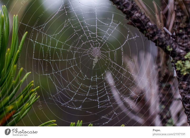 Spinnennetz mit Tau Natur Baum Essen Wassertropfen Alpen fangen Symmetrie