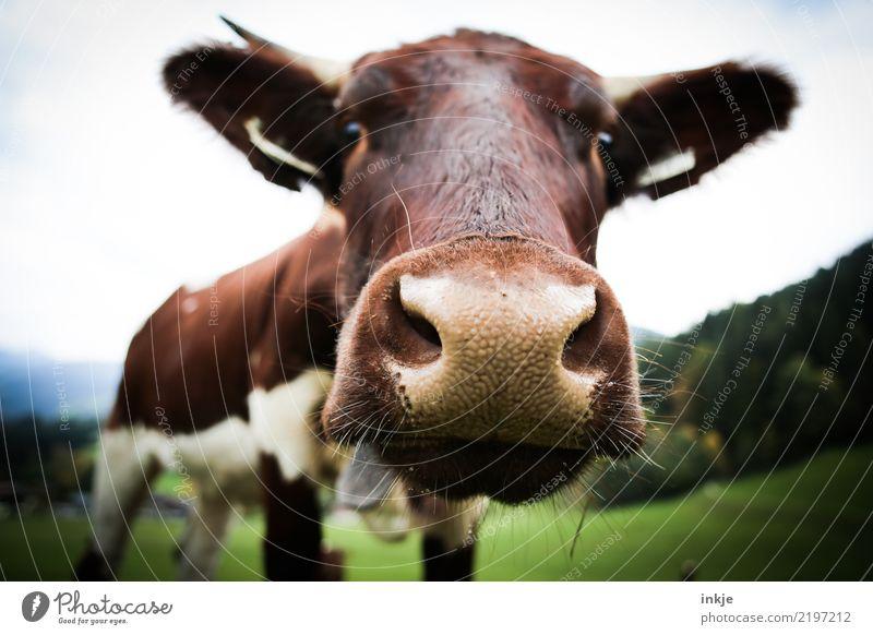 Luisa Ausflug Berge u. Gebirge wandern Umwelt Natur Wiese Feld Nutztier Kuh Tiergesicht 1 Blick nah Neugier Gefühle Interesse Viehhaltung Weide Milchkuh Alm