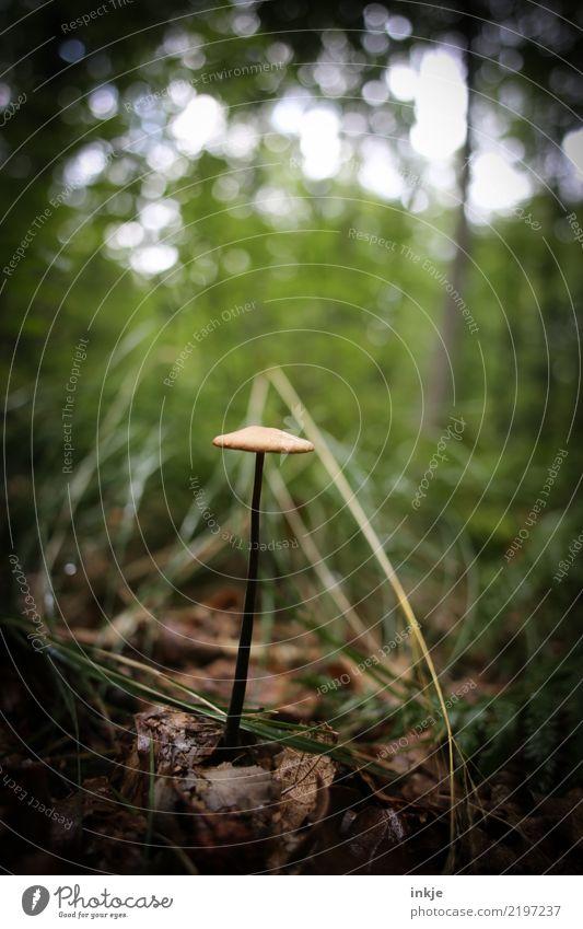 1 Pilz Natur Sommer Herbst Wald Waldboden dünn einfach ungenießbar einzeln lang Vignettierung Farbfoto Außenaufnahme Nahaufnahme Makroaufnahme Menschenleer Tag
