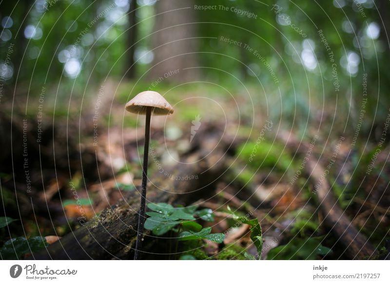 Pilz Umwelt Natur Pflanze Tier Sommer Herbst Wald Waldboden lang dünn ungenießbar dunkel faulig nass einzeln Farbfoto Außenaufnahme Nahaufnahme Makroaufnahme