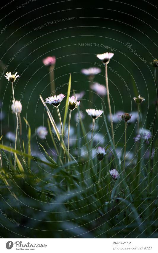 Sonnenstrahlfänger Natur schön weiß Blume Pflanze Wiese Herbst Blüte leuchten Halm Gänseblümchen verblüht letzte Wildpflanze Lichtfleck