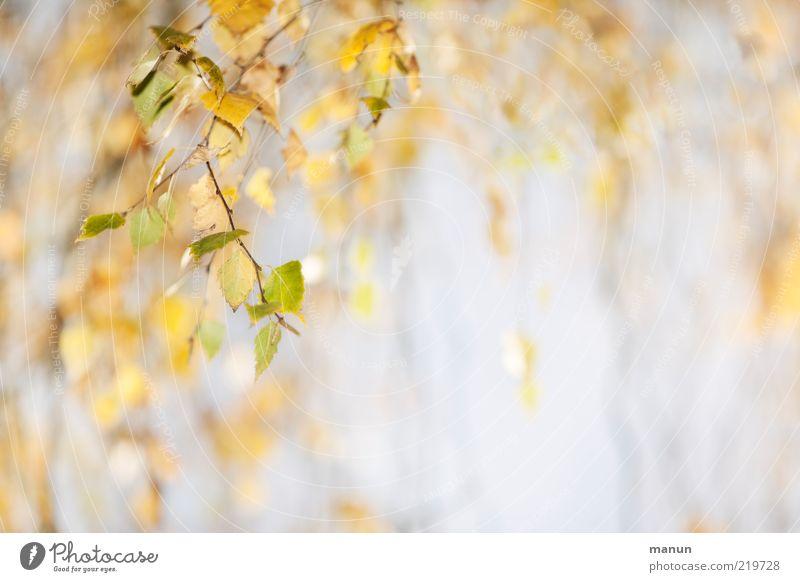 Birke Natur schön Baum grün Blatt gelb Herbst hell Wandel & Veränderung natürlich Originalität Herbstlaub Zweige u. Äste hängend Detailaufnahme herbstlich