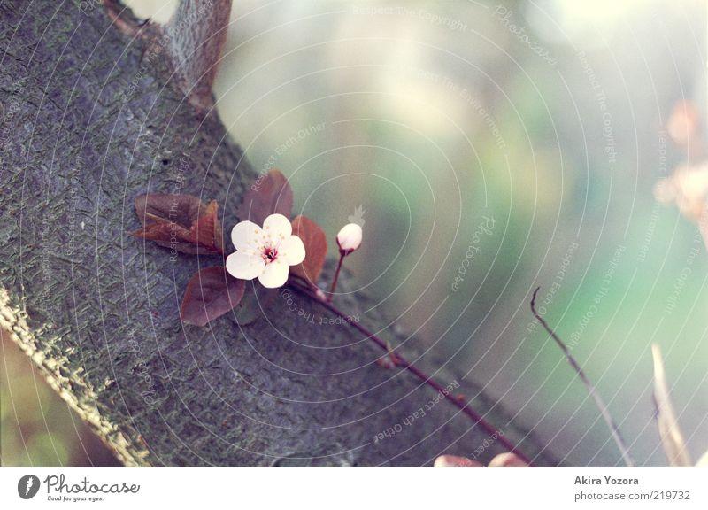 Zurücklehnen und genießen Pflanze Sonnenlicht Frühling Baum Blatt Blüte Kirschbaum Kirschblüten Baumrinde berühren Blühend Erholung Wachstum ästhetisch braun