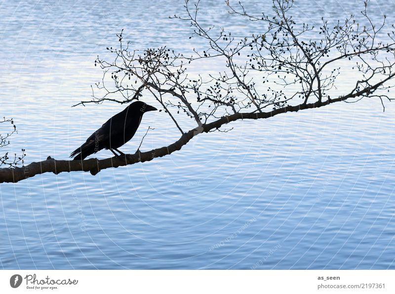 Abraxas Halloween Umwelt Natur Wasser Herbst Winter Baum Ast Zweig Küste See Vogel Rabenvögel 1 Tier hocken dunkel blau schwarz Gefühle Angst bizarr kalt