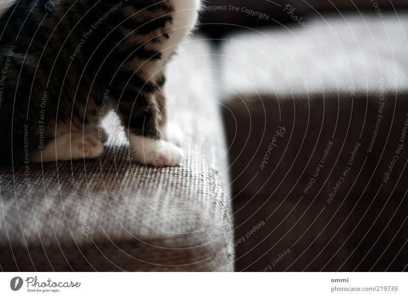 Couch Potato Tier Haustier Katze Fell Pfote 1 Tierjunges sitzen schön kuschlig klein niedlich grau weiß Tierliebe weich Sofa Farbfoto Innenaufnahme Nahaufnahme