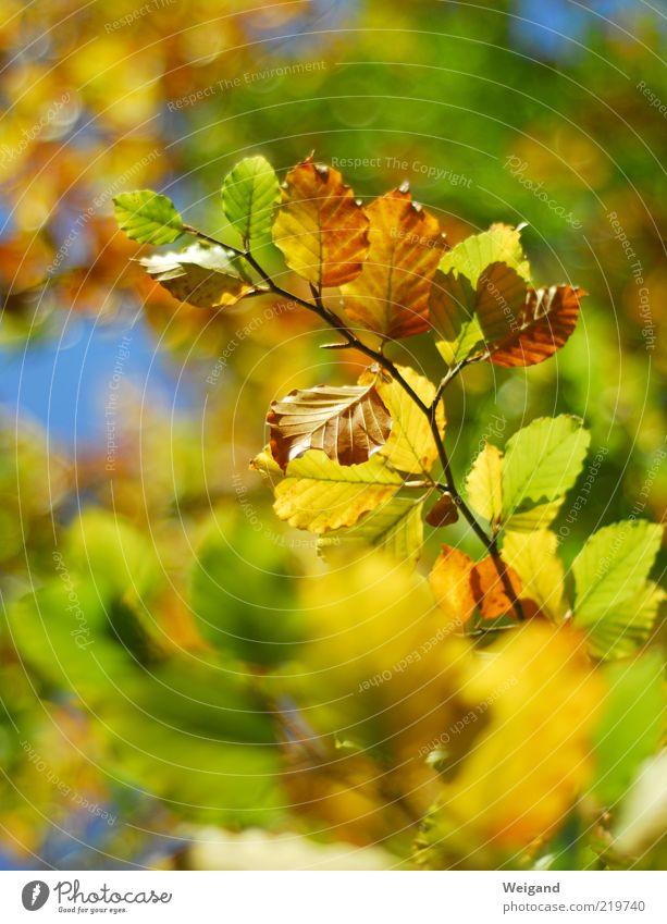 Ich mag den Herbst Holz leuchten blau braun mehrfarbig gelb gold grün Duft Herbstlaub Blatt Jahreszeiten Buche Wald Leben schillernd September Oktober Farbfoto