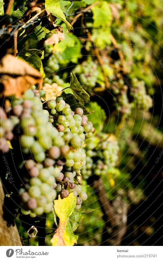 Sonne tanken Umwelt Natur Pflanze Sonnenlicht Herbst Schönes Wetter Wärme Nutzpflanze Wein Weintrauben hängen leuchten Wachstum hell lecker grün Riesling