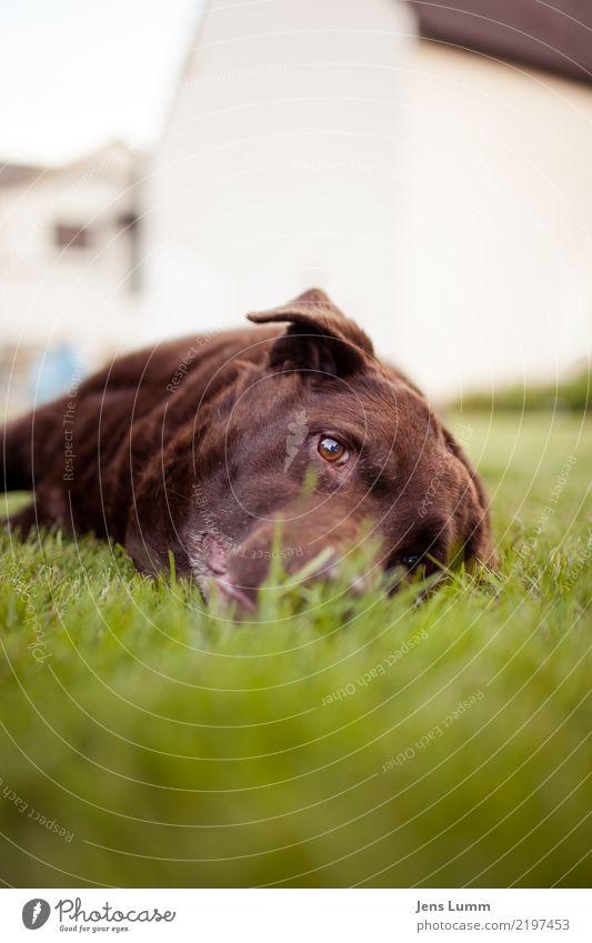 Bring mich nach Hause, Taximann Tier Haustier Hund 1 alt braun grün Wiese liegen Erholung Denken Müdigkeit Traurigkeit Fell Auge Dorf Krankheit Heimweh Farbfoto