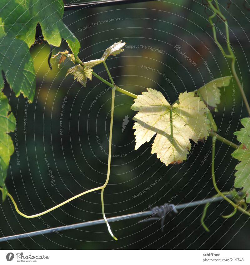 Guter Jahrgang? Blatt Herbst Wein festhalten leuchten Draht Ranke Blattadern Nutzpflanze Blattgrün durchscheinend Weinblatt Weinranken