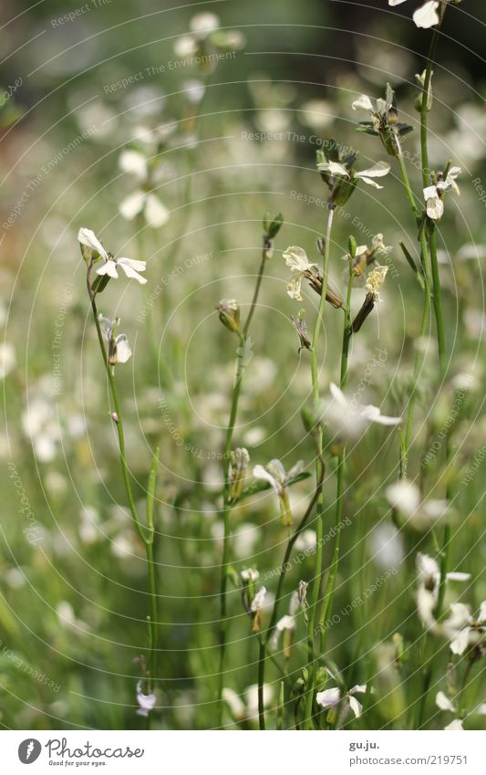 Sommergrüße SE Natur weiß grün schön Pflanze Blume Sommer Blatt ruhig schwarz Farbe Wiese Umwelt Gras Blüte natürlich