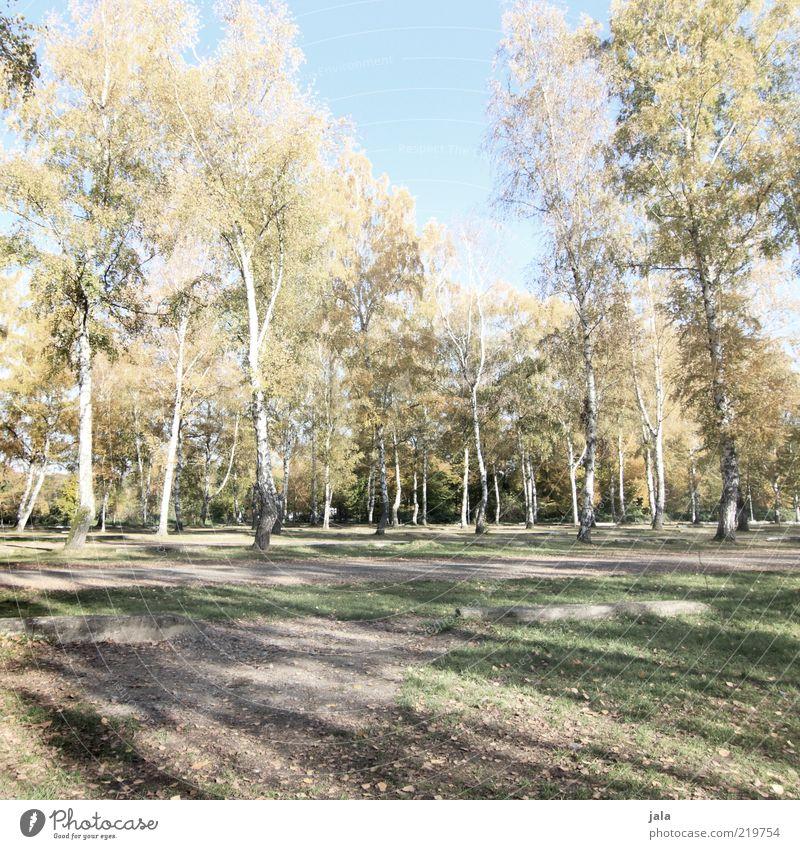 birken Natur Landschaft Herbst Pflanze Baum Birke blau grün Farbfoto Außenaufnahme Menschenleer Tag Schatten Erholungsgebiet ruhig Schönes Wetter viele