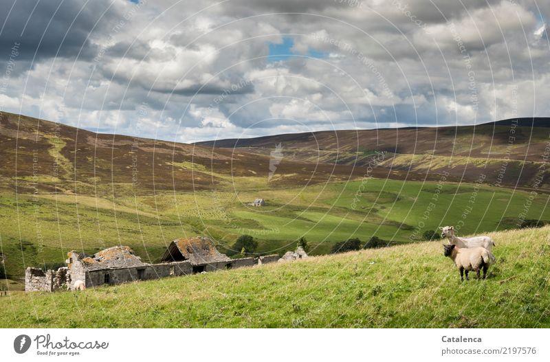 Schafweide Himmel Natur Sommer blau grün Landschaft Tier Wolken Umwelt Wiese Gras grau braun Stimmung wandern stehen