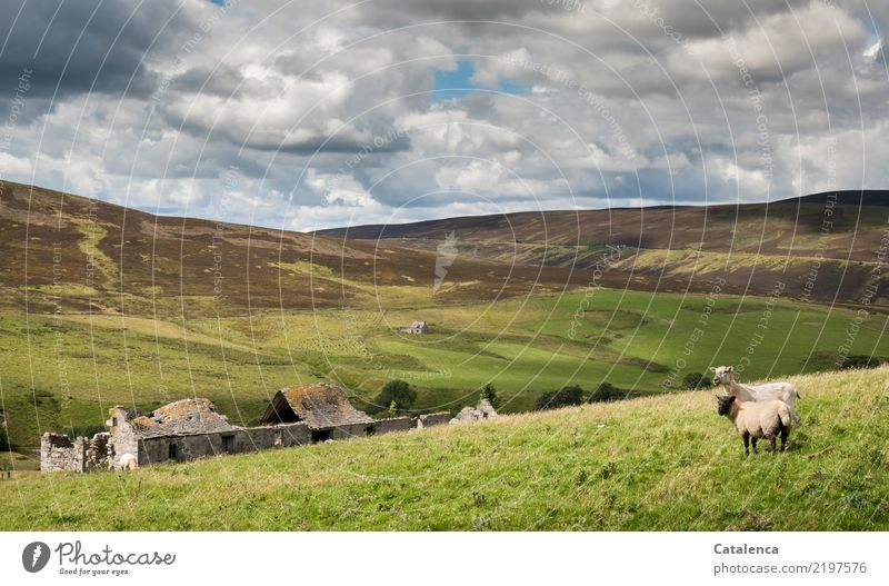 Schafweide Sommer wandern Natur Landschaft Himmel Wolken Schönes Wetter Gras Sträucher Wiese Hügel Moor Sumpf Ruine 2 Tier beobachten laufen stehen authentisch