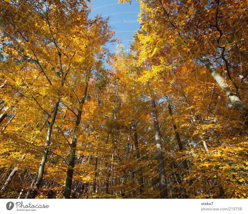 The Golden Age I Herbst Baum Wald alt Wandel & Veränderung Buchenwald leuchtende Farben braun gold Farbfoto Außenaufnahme Menschenleer Weitwinkel Baumkrone