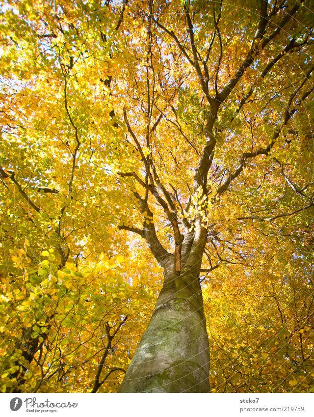 The Golden Age II alt Wald Herbst hoch Wandel & Veränderung leuchten Baumkrone luftig herbstlich Herbstfärbung Blätterdach Indian Summer Buchenwald gelbgold