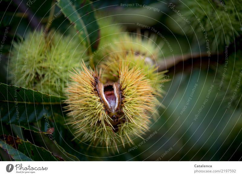 Marone Ernährung Vegetarische Ernährung Nahrhaft Gesunde Ernährung Natur Pflanze Herbst Baum Blatt Maronenröhrling Wald genießen dehydrieren Wachstum frisch