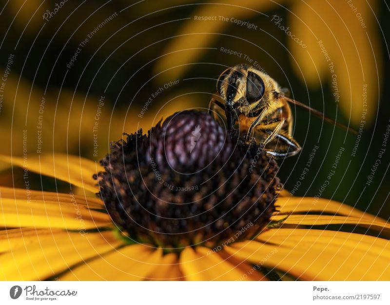Blüte Umwelt Natur Herbst Blume Tier Biene Flügel Essen füttern genießen krabbeln gelb Nektar Farbfoto Makroaufnahme Tag