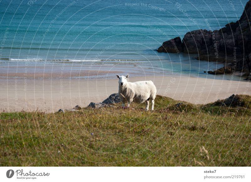 Schottland meets Karibik Wiese Wellen Küste Strand Nutztier Schaf 1 Tier Einsamkeit Ferne Durness Weide Farbfoto Menschenleer Textfreiraum oben