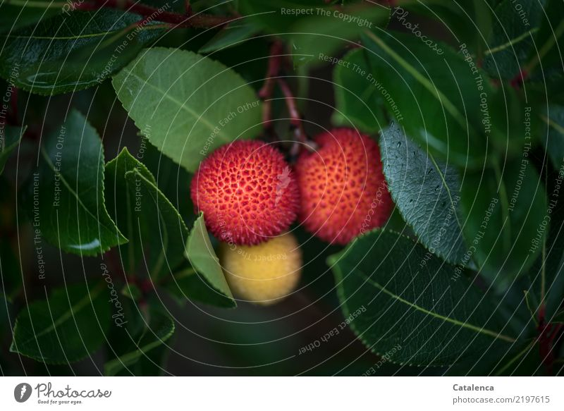 Madroño Natur Pflanze Herbst Grünpflanze Erdbeerbaum Beerensträucher Wald Berge u. Gebirge Spanien Asturias Wachstum schön rund gelb grün orange rot Freude