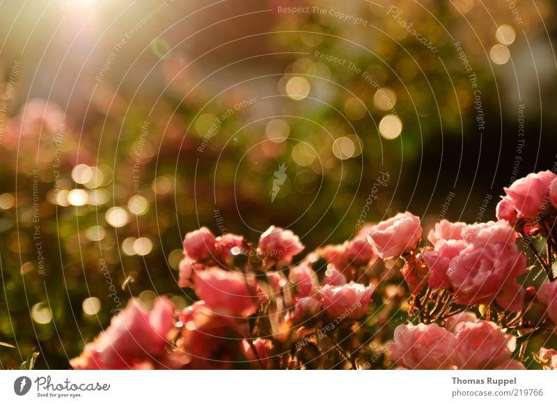 Rosen in der Sonne Natur Pflanze Sonnenlicht Sommer Herbst Schönes Wetter Blume Sträucher Blatt Blüte Grünpflanze Garten Park Blühend leuchten Wärme rosa