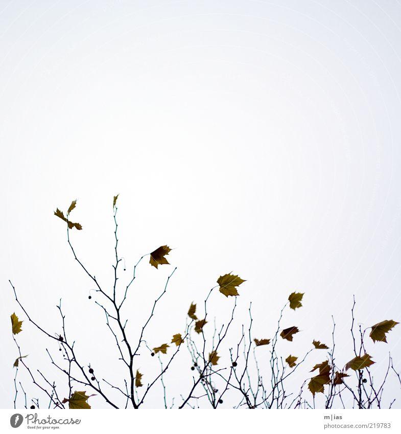 Herbst Natur Baum Pflanze Blatt Bewegung Wind Wetter Vergänglichkeit Ast Verfall Zweig abstrakt letzte herbstlich Wolkenloser Himmel